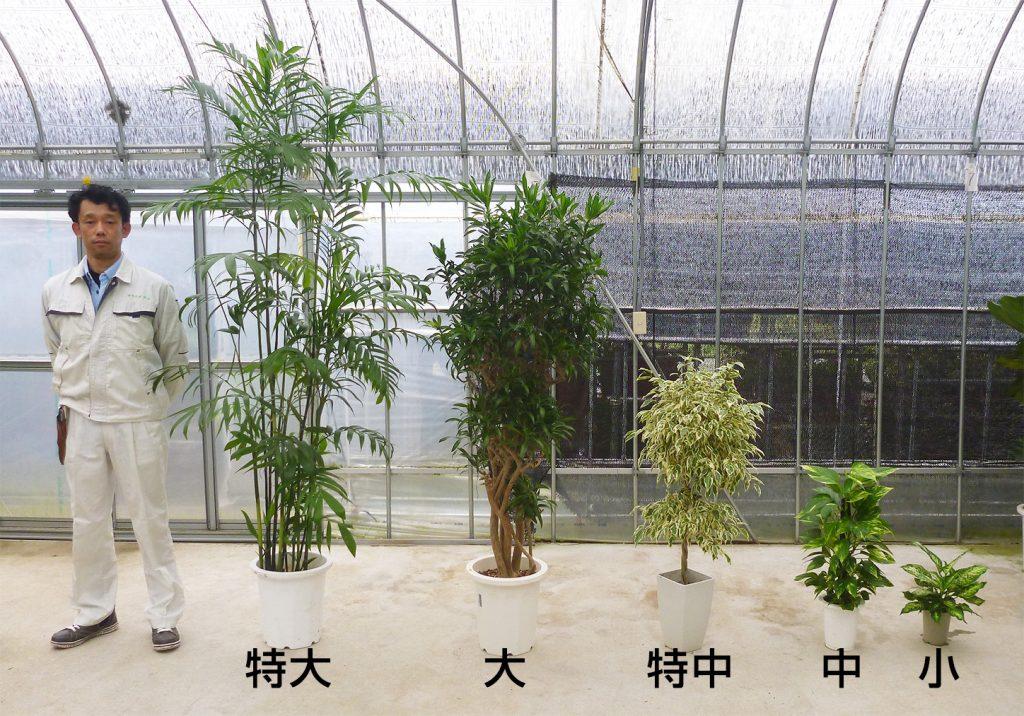 観葉植物のサイズ比較
