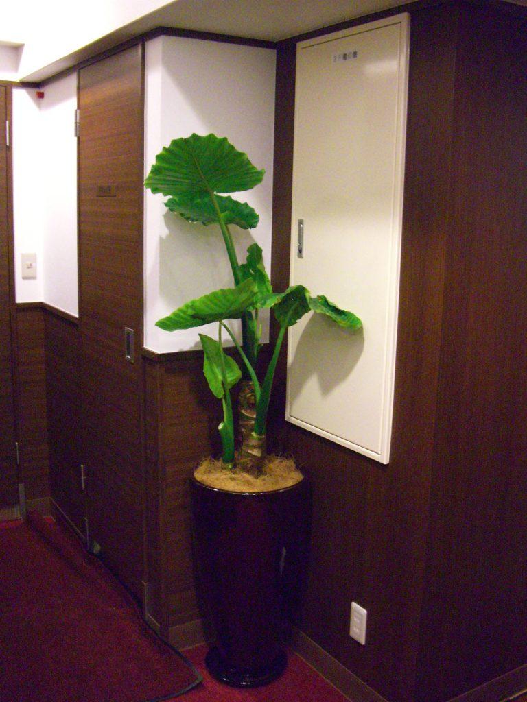 クワズイモ観葉植物