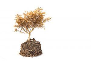 水不足で枯れた木